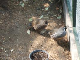 Foto 7 Exoten Reisfinken, Silberschnäbel, Zebrafinken, Kalifornische Schopfwachteln