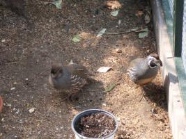 Foto 8 Exoten Reisfinken, Silberschnäbel, Zebrafinken, Kalifornische Schopfwachteln