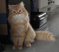Exotic Langhaar Maine Coon Kater Red Tabby !!