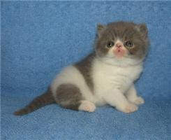 Exotic Shorthair Kater (bicolor)