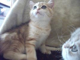 Exotic Shorthair Katze 12 Wochen alt golden tabby wundersch�n mP