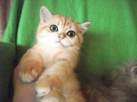 Foto 2 Exotic Shorthair Katze 12 Wochen alt golden tabby wundersch�n mP