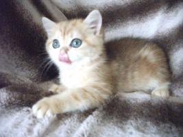 Foto 3 Exotic Shorthair Katze 12 Wochen alt golden tabby wundersch�n mP