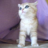Foto 4 Exotic Shorthair Katze 12 Wochen alt golden tabby wundersch�n mP