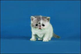 Exotic-Shorthair Kitten