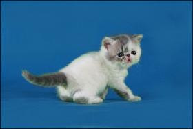 Foto 2 Exotic-Shorthair Kitten