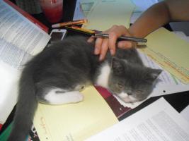 Foto 5 Exotic Shorthair kitten