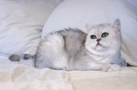 Exotic Shorthair silver shaded Maedel