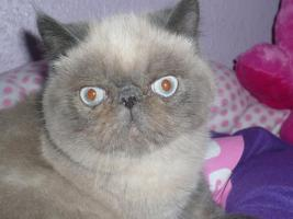 Foto 2 Exotic Shorthair, Colourpoint