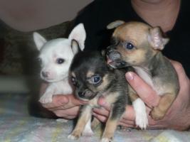 Extra Mini Chihuahua Welpen