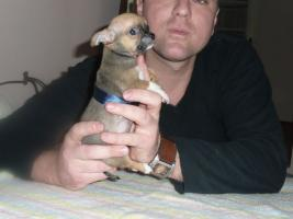 Foto 3 Extra Mini Chihuahua Welpen