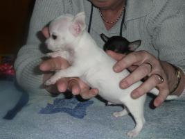 Foto 4 Extra Mini Chihuahua Welpen
