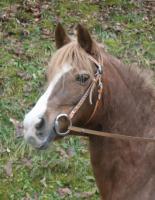 Foto 3 Familien und Einsteigerpferd 1,45 Geländepferd Fuchs Stute 13J.