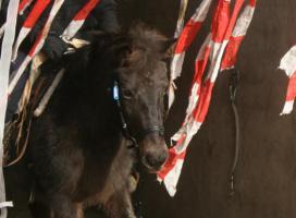Familien und Kinder Pony 1,25 geritten & gefahren Anfänger Pony