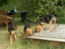 Familienhundewelpen Bloodhounds