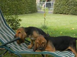 Foto 2 Familienhundewelpen Bloodhounds