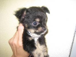Fantastischen 4 Chihuahua Babys