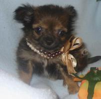 Foto 2 Fantastischen 4 Chihuahua Babys