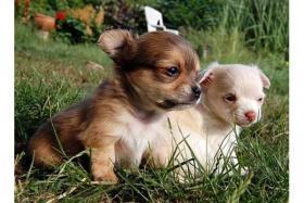 Foto 3 Fantastischen 4 Chihuahua Babys