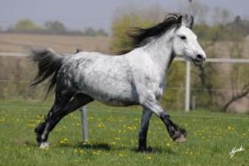 Foto 5 Fell Pony