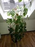 Foto 2 Fensterblatt -Monstera, weiß-panaschiert ca 160-180 hoch Rarität