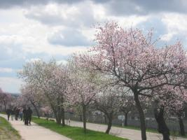 die Mandelbäume  blühen es ist Frühling