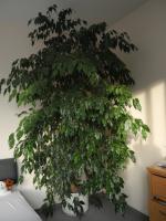 Ficus Benjamin 230 x140cm