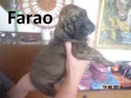 Foto 6 Fila Brasileiro Welpen mit Papiere FCI