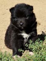 Foto 2 Finnische Lapphund