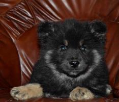 Foto 3 Finnische Lapphund