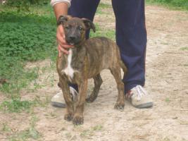 Fiona- bildschöner Welpe sucht ein Zuhause (Tierschutzhund)