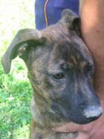 Foto 2 Fiona- bildschöner Welpe sucht ein Zuhause (Tierschutzhund)