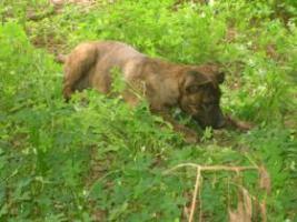 Foto 5 Fiona- bildschöner Welpe sucht ein Zuhause (Tierschutzhund)