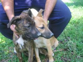 Foto 6 Fiona- bildschöner Welpe sucht ein Zuhause (Tierschutzhund)