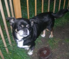 Foto 4 Fitte Chihuahua-Omi Picur sucht Lebensplatz!