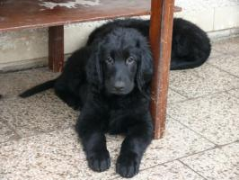 Foto 3 Flat Coated Retriever