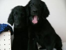 Foto 4 Flat Coated Retriever