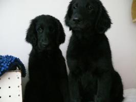 Foto 5 Flat Coated Retriever