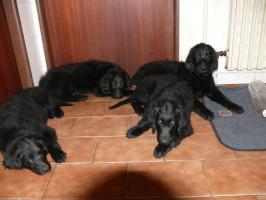 Foto 6 Flat Coated Retriever