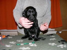Flat Coated Retriever FCI Welpen
