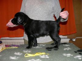 Foto 2 Flat Coated Retriever FCI Welpen