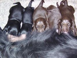 Foto 2 Flat Coated Retriever Welpen in dark-liver und schwarz