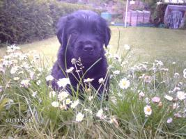 Foto 2 Flatcoated Retriever Welpen