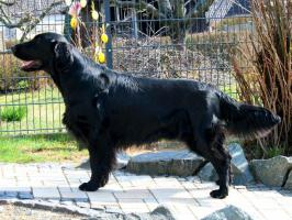 Flatcoated Retriever- Welpen