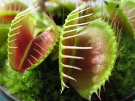 Fleischfressende Pflanzen (Karnivoren)