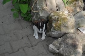 Foto 2 Foxterrierwelpen