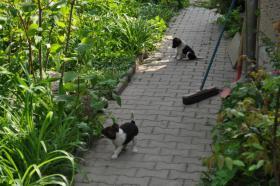 Foto 5 Foxterrierwelpen
