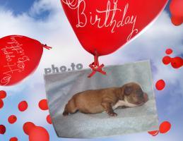 Foto 3 Frabzösische Bulldoggen Babys mit Papieren aus liebevoller Hausaufzucht