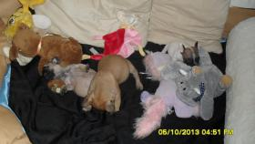 Foto 4 Fransösische Bulldoggen Welpen in Laage