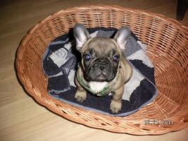 Foto 2 Franz. Bulldogge